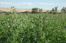 alfalfa seed crop