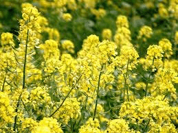 canola plant - WHAT FOODS ARE GENETICALLY MODIFIED?