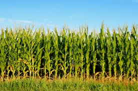 corn crop - WHAT FOODS ARE GENETICALLY MODIFIED?