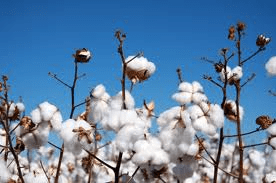 cottonseed crop - WHAT FOODS ARE GENETICALLY MODIFIED?