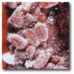 "cochineal 150x150 - STRAWBERRY ""FLAVORING"""