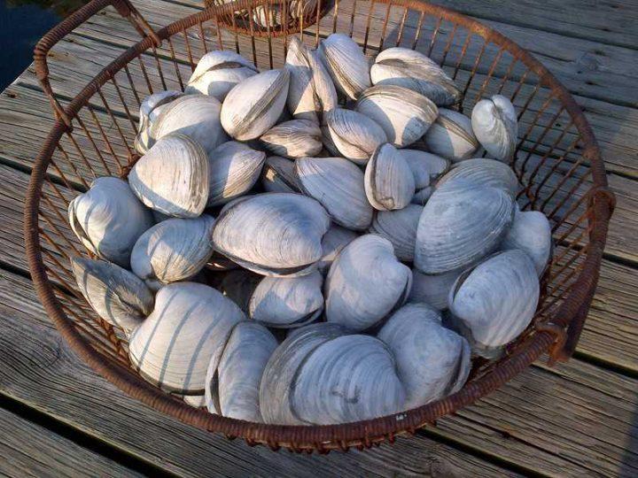 bucket of freshly caught littleneck clams long island ny